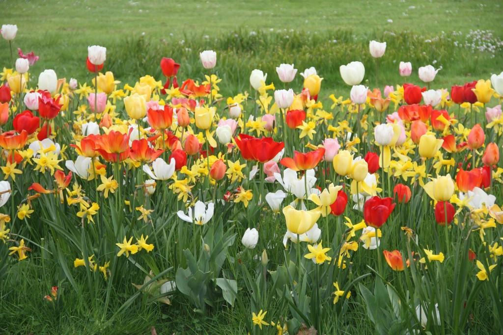 Tulpenpracht auf dem Akyürekplatz